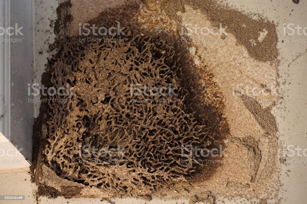 termite nests in house stock photo