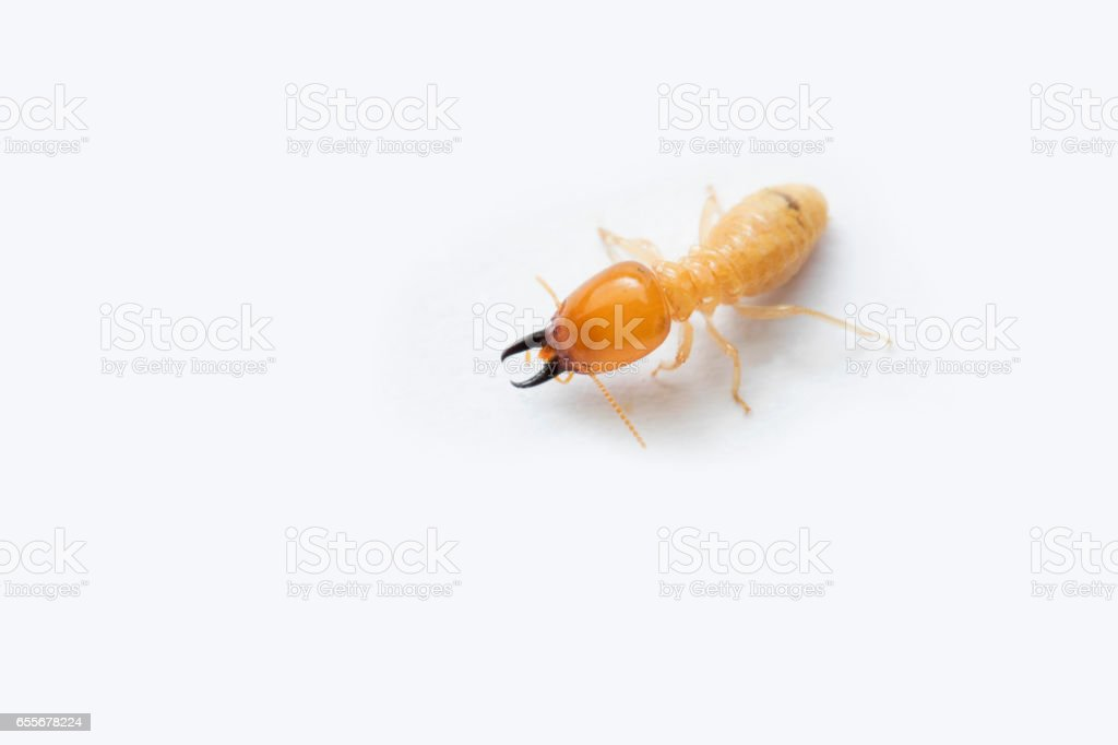 Termite on white background in Southeast Asia. stock photo