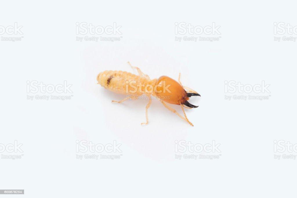 Termite on white background in Southeast Asia. stock photo