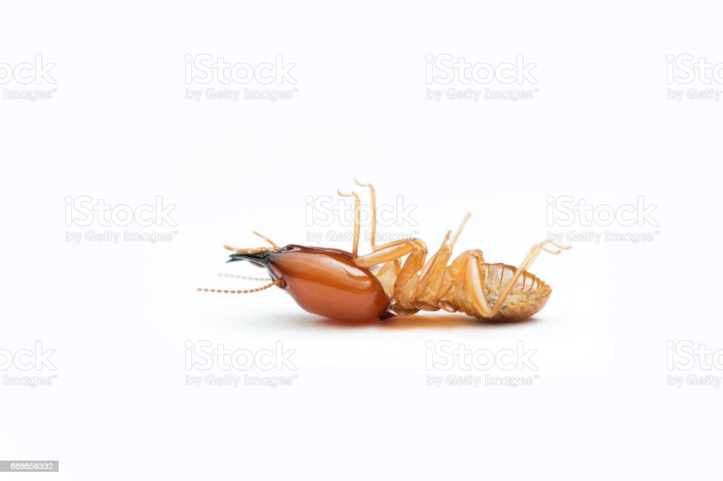 Termite on white background in Thailand and Southeast Asia. stock photo