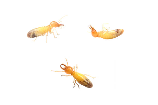 Termite on white background. Termite on white background in Thailand and Southeast Asia. termite stock pictures, royalty-free photos & images