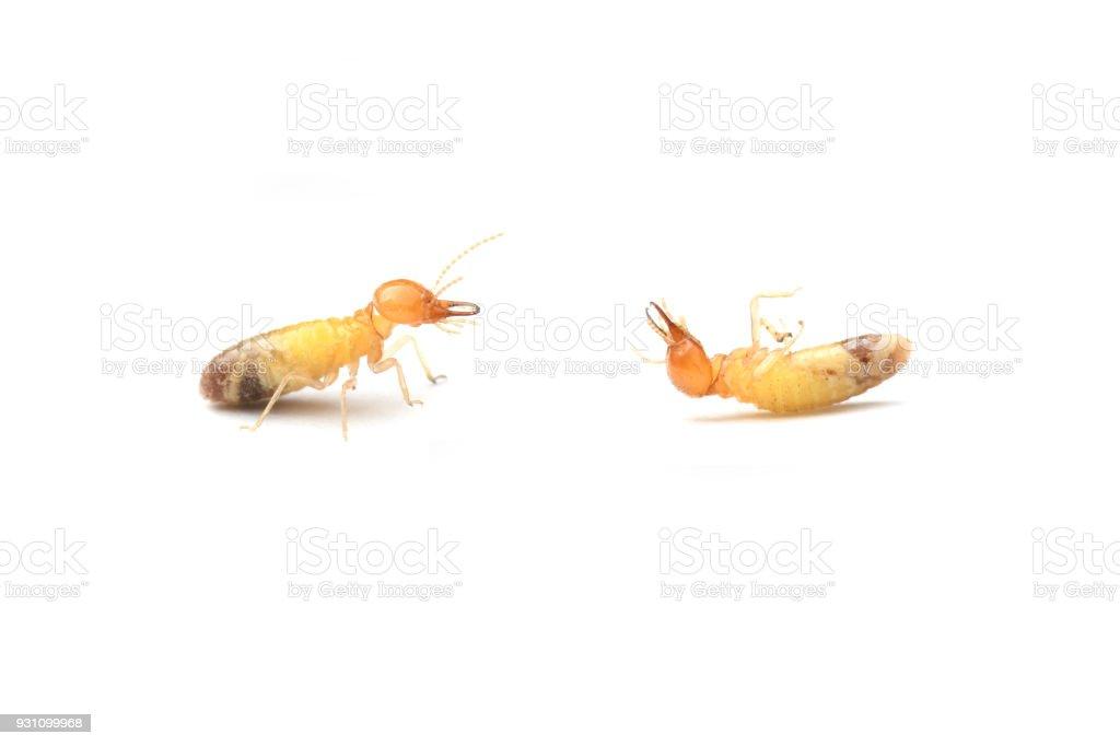 Termite on white background. stock photo