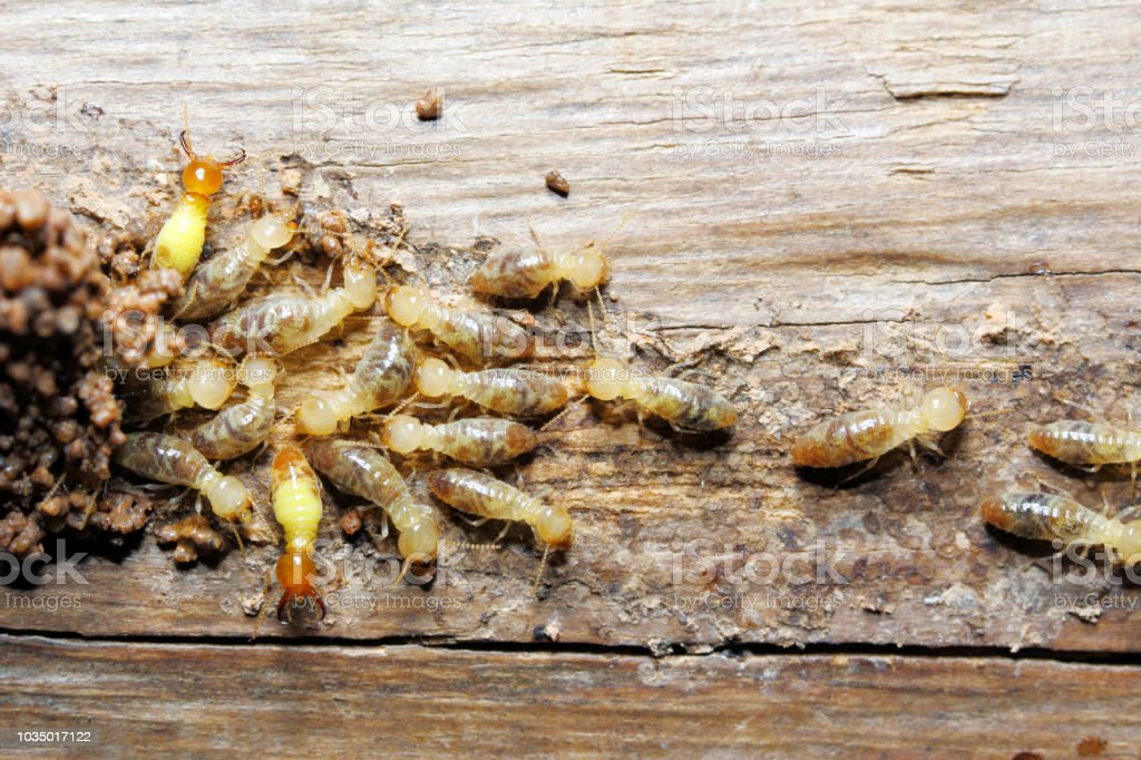 Termite on wood background stock photo