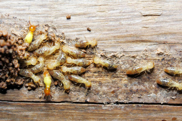 Termite on wood background Closeup worker and soldier termites (Globitermes sulphureus) on wood structure termite stock pictures, royalty-free photos & images