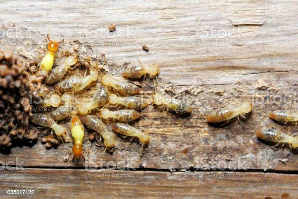 Termite On Wood Background Stock Photo - Download Image Now