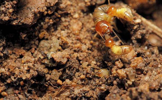 Termite Termite isoptera stock pictures, royalty-free photos & images