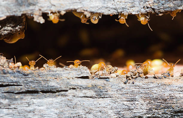 termite Termites are nesting in the timber. termite stock pictures, royalty-free photos & images