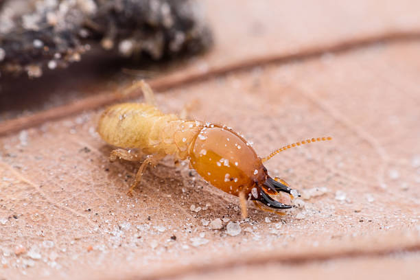 Termite walking on dried leaf Termite walking on dried leaf isoptera stock pictures, royalty-free photos & images