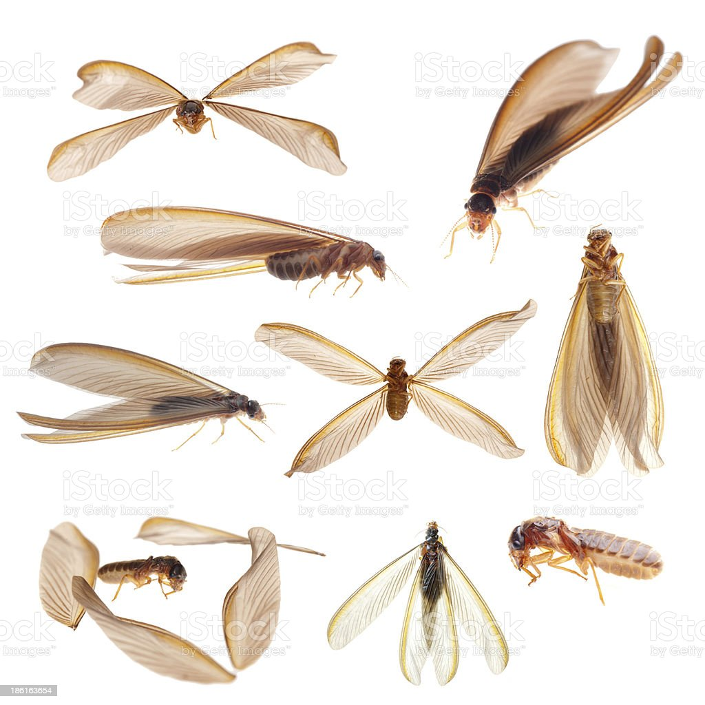 termite white ant bug isolated collection stock photo
