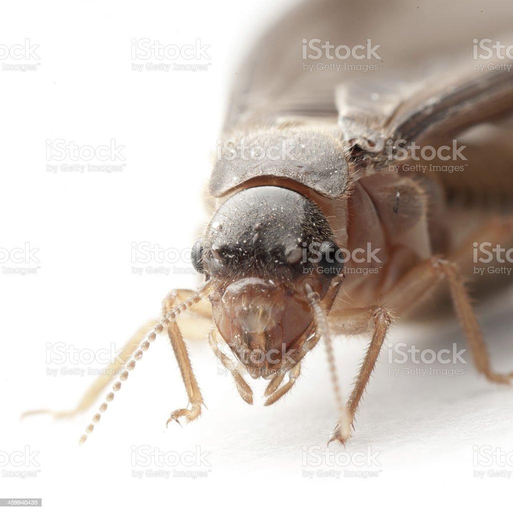termite white ant stock photo