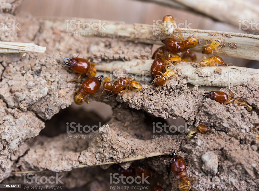 Termites are nesting in the timber. stock photo