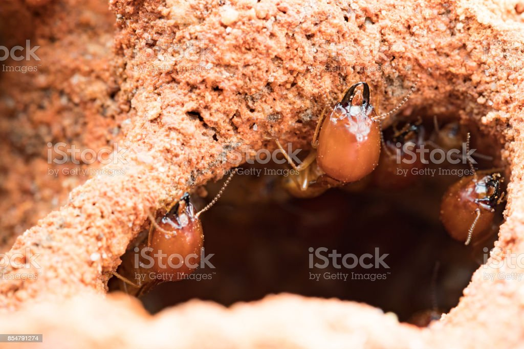 termites damage home, macro close up termites in anthill termites damage home, macro close up termites in anthill Brown Stock Photo