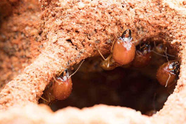 termites damage home, macro close up termites in anthill termites damage home, macro close up termites in anthill isoptera stock pictures, royalty-free photos & images