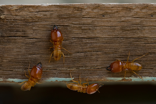 Termites Damage Home Macro Close Up Termites On Wooden Background Stock Photo - Download Image Now