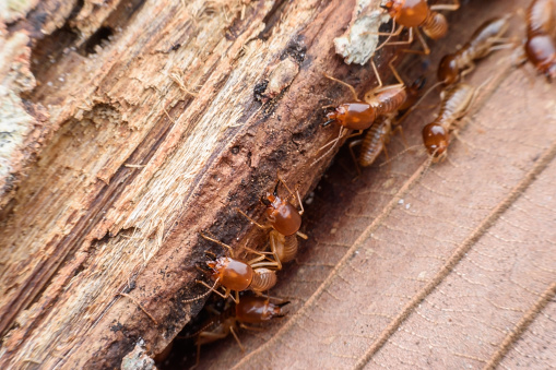 istock Termites eating rotted wood 625681912