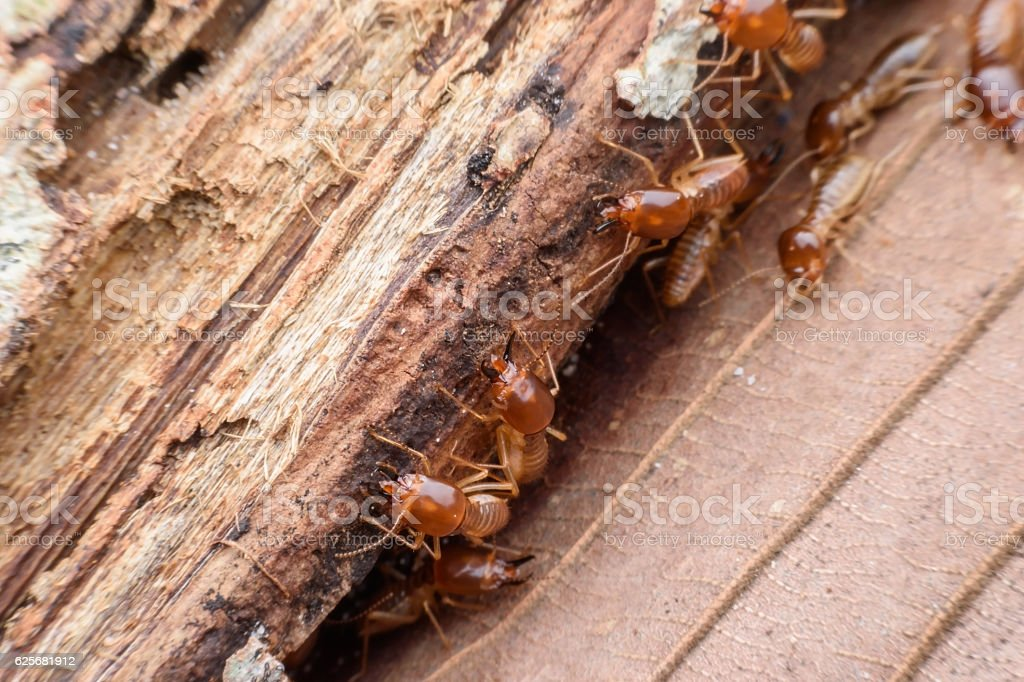 Termites eating rotted wood stock photo