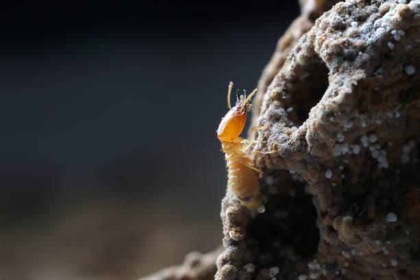 termieten in termietenheuvel. - termietenheuvel stockfoto's en -beelden