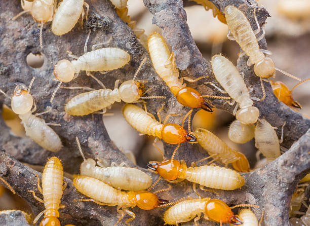 Termites in Thailand Close up termites or white ants in Thailand termite stock pictures, royalty-free photos & images