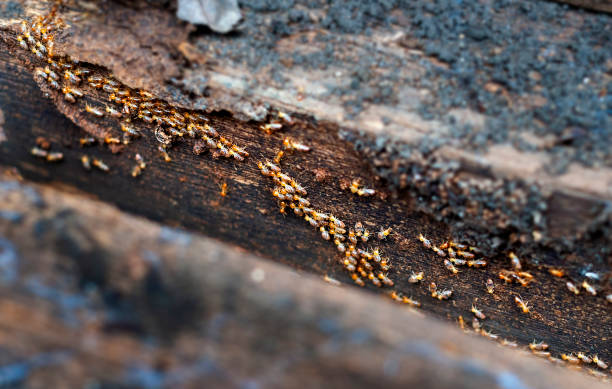Termites is marching on old wood. Termites is marching on old wood. Termite problem  is wood eating. isoptera stock pictures, royalty-free photos & images