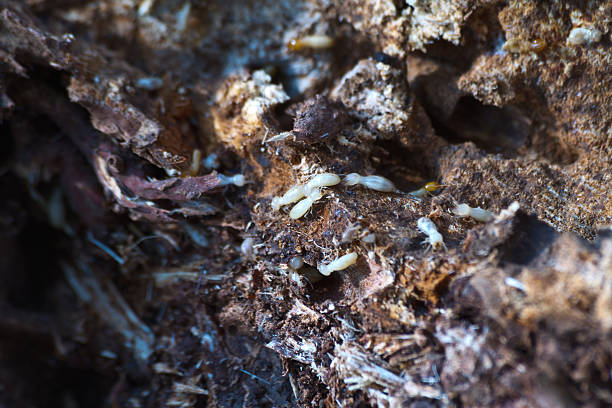 termites on decomposing wood termites on decomposing wood isoptera stock pictures, royalty-free photos & images