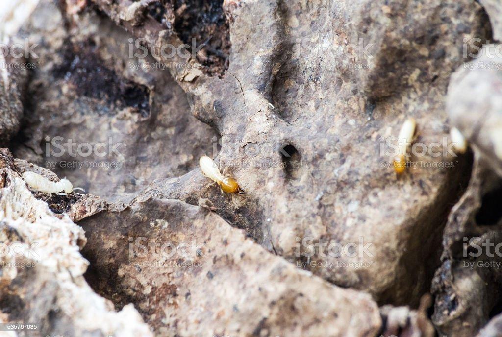 termites on decomposing wood stock photo