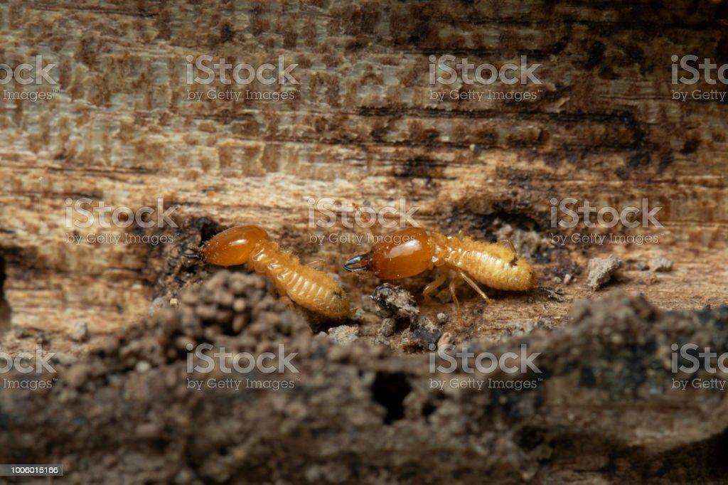 Termites on wood background. stock photo