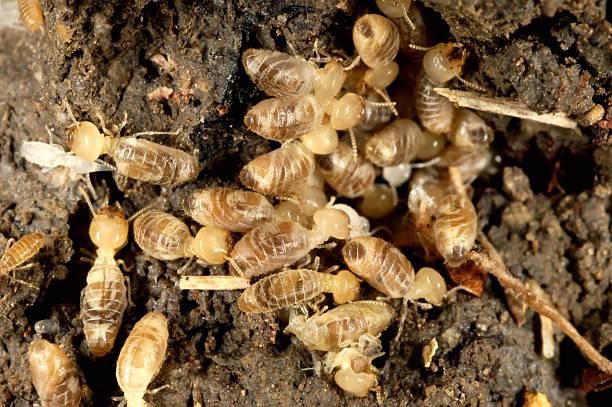 termites - termietenheuvel stockfoto's en -beelden