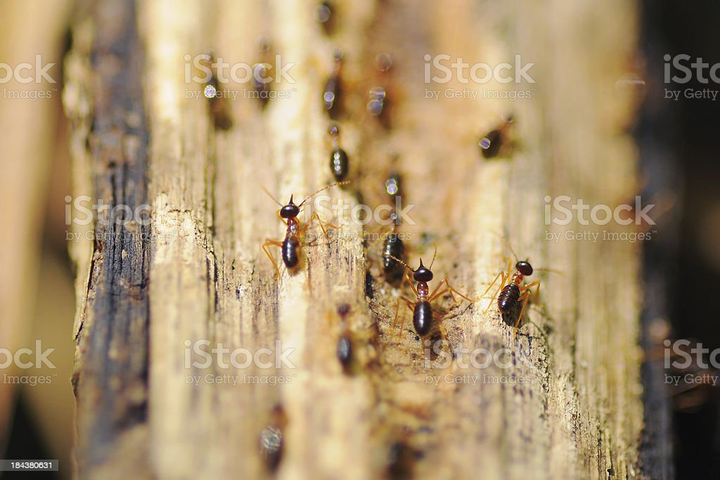Termites running on the wood selective focus stock photo