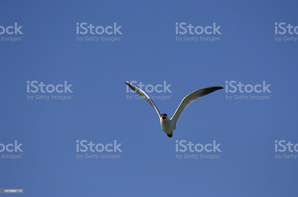 Tern Flying Against a Clear Blue Sky Searching for Food royalty-free stock photo