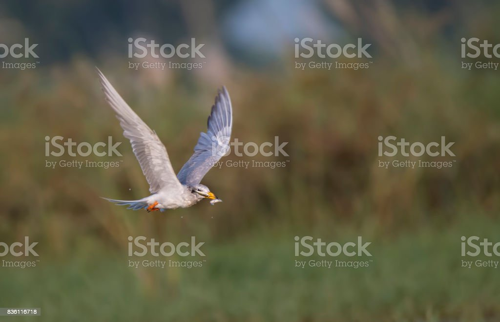 Tern got the Two fish stock photo