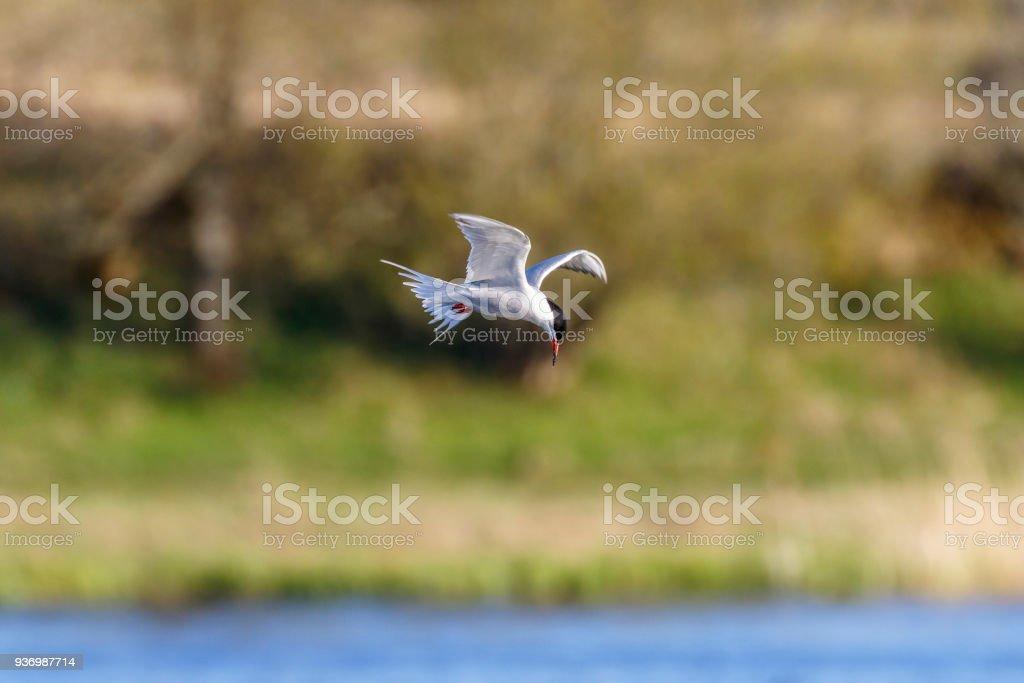 Passe o mouse tern sobre um lago na primavera - foto de acervo