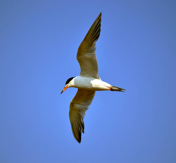 Tern in fight 3 Tern in flight neilliebert stock pictures, royalty-free photos & images