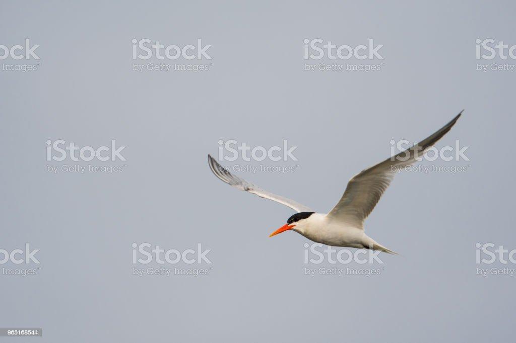 Tern in flight zbiór zdjęć royalty-free