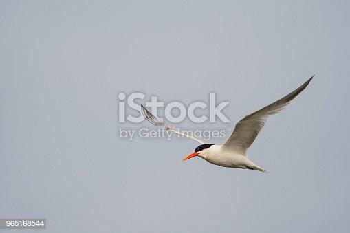 Tern In Flight - Stockowe zdjęcia i więcej obrazów Czapla
