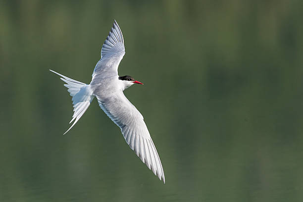 tern - dally stock pictures, royalty-free photos & images