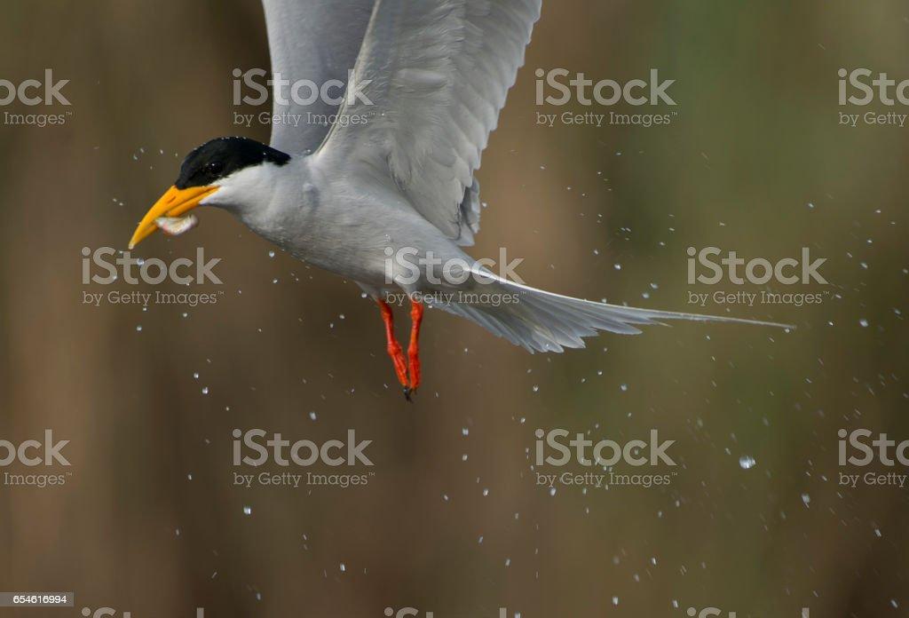 Tern with Fish stock photo