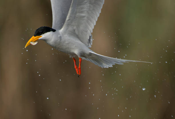Tern with Fish - foto de acervo