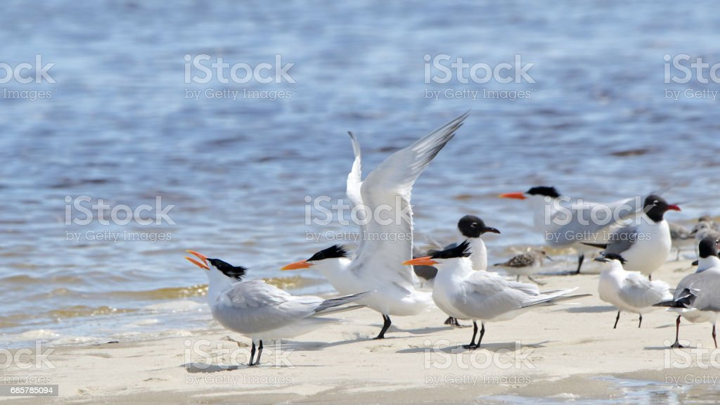 Terns on a sandbar with wing extended royalty-free stock photo