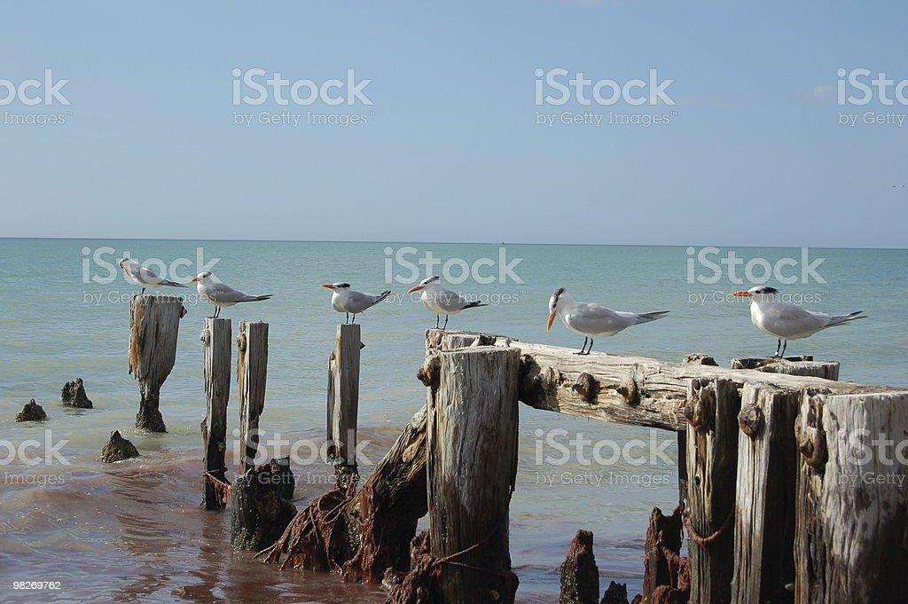 Rondini di mare sul Pilings foto stock royalty-free