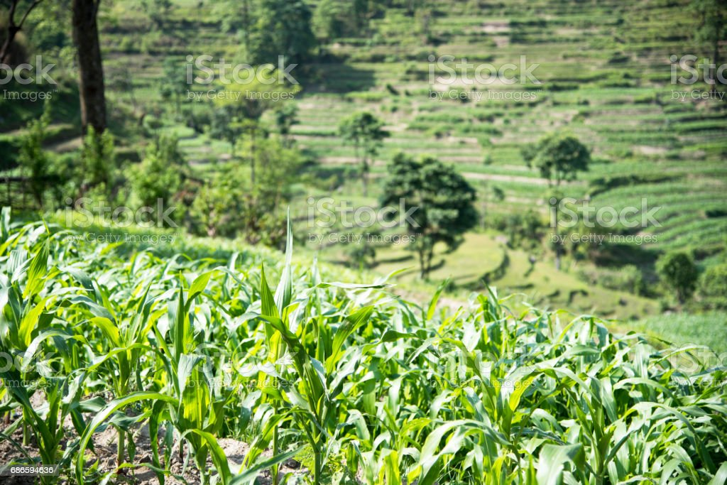 Terrace fields and plantations in Nepal royalty-free stock photo