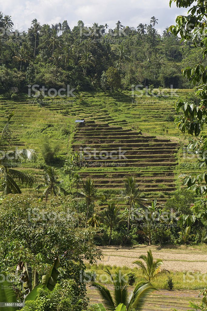 Terrace rice fields on Bali royalty-free stock photo