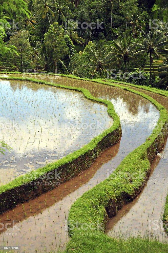 Terrace rice fields royalty-free stock photo