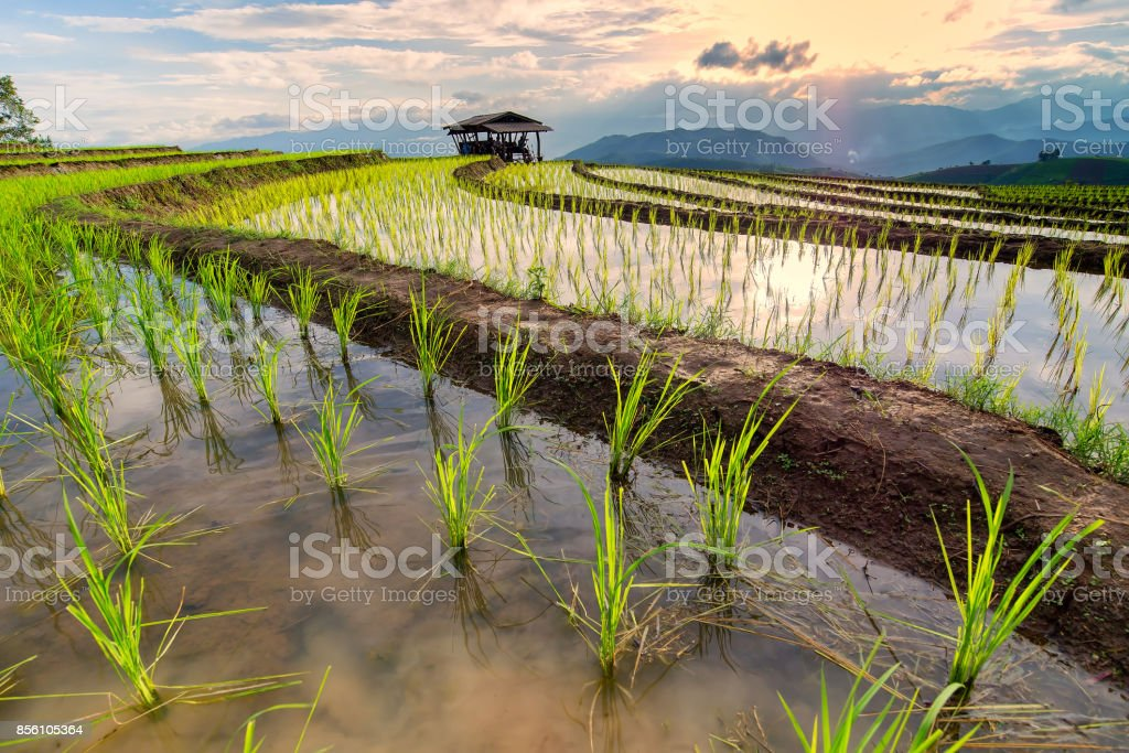 Terraced Paddy Field in Mae-Jam Village , Chaingmai Province , Thailand,Beautiful scenery during sunset of the Pa Pong Piang rice terraces at Mae-Jam,Chaingmai Province in Thailand. stock photo
