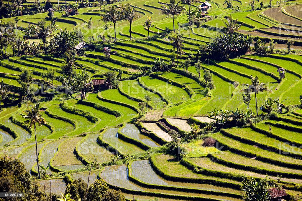 Terraced paddy field of rice in Bali stock photo