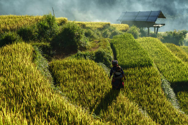 terraced rice field in harvest season with ethnic minority woman on the field in mu cang chai, vietnam. - minority stock photos and pictures