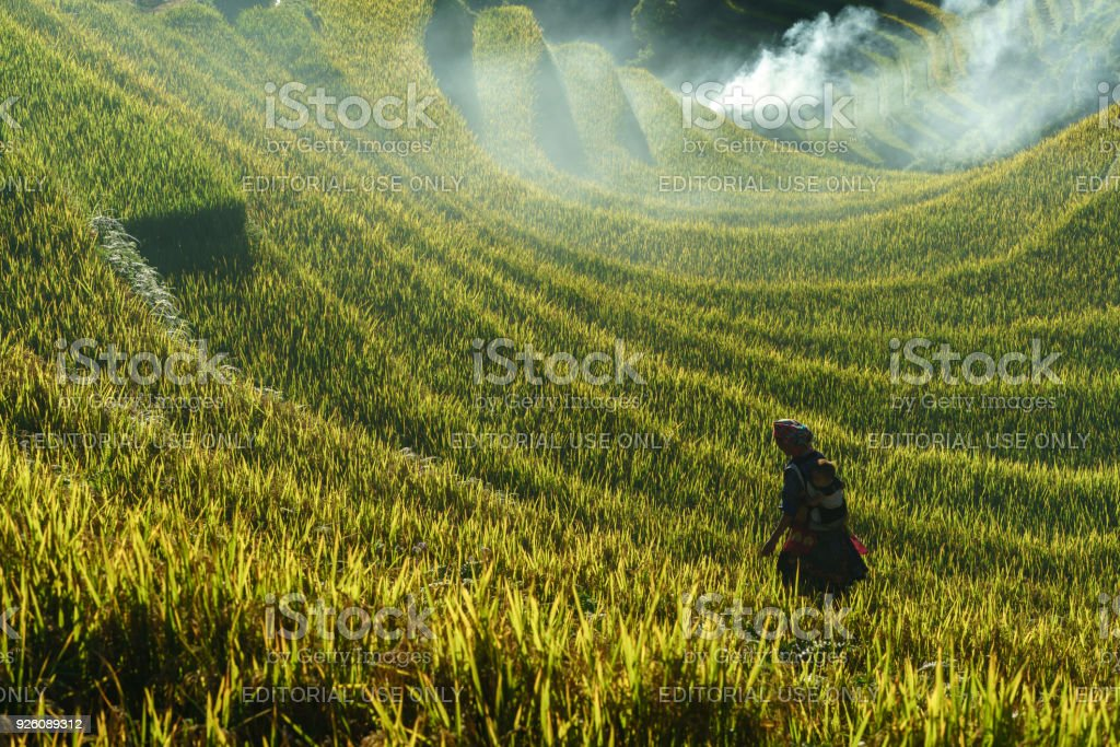 Terraced rice field in harvest season with ethnic minority woman on the field in Mu Cang Chai, Vietnam. stock photo
