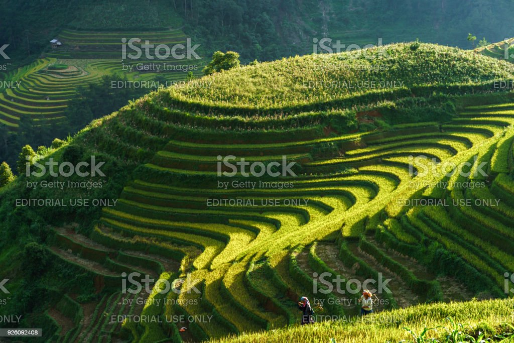 Terraced rice field in harvest season with ethnic minority women on the field in Mu Cang Chai, Vietnam. stock photo
