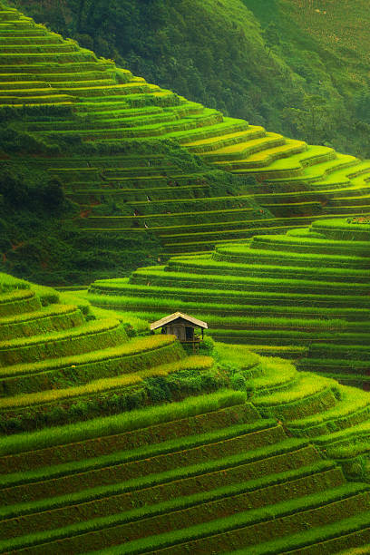 terraced rice field in mu cang chai, vietnam - terras veld stockfoto's en -beelden