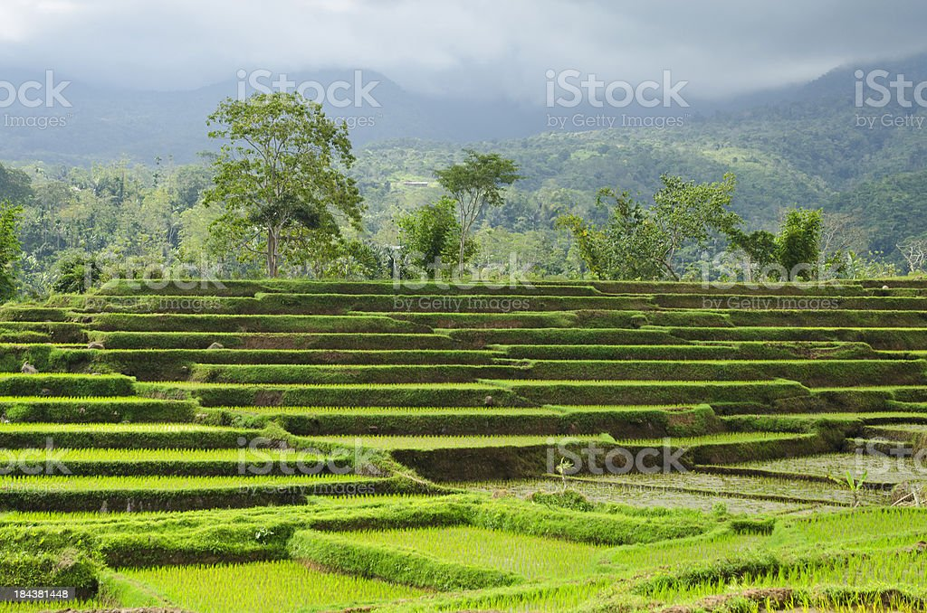 Terraced rice paddies in Flores royalty-free stock photo