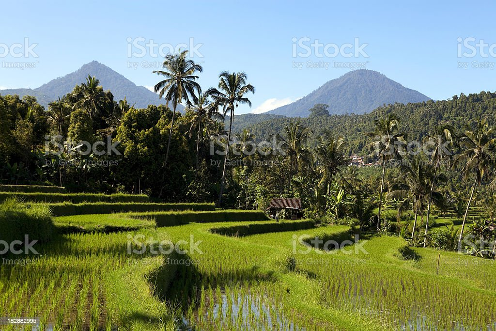 terraced rice paddy bali indonesia royalty-free stock photo